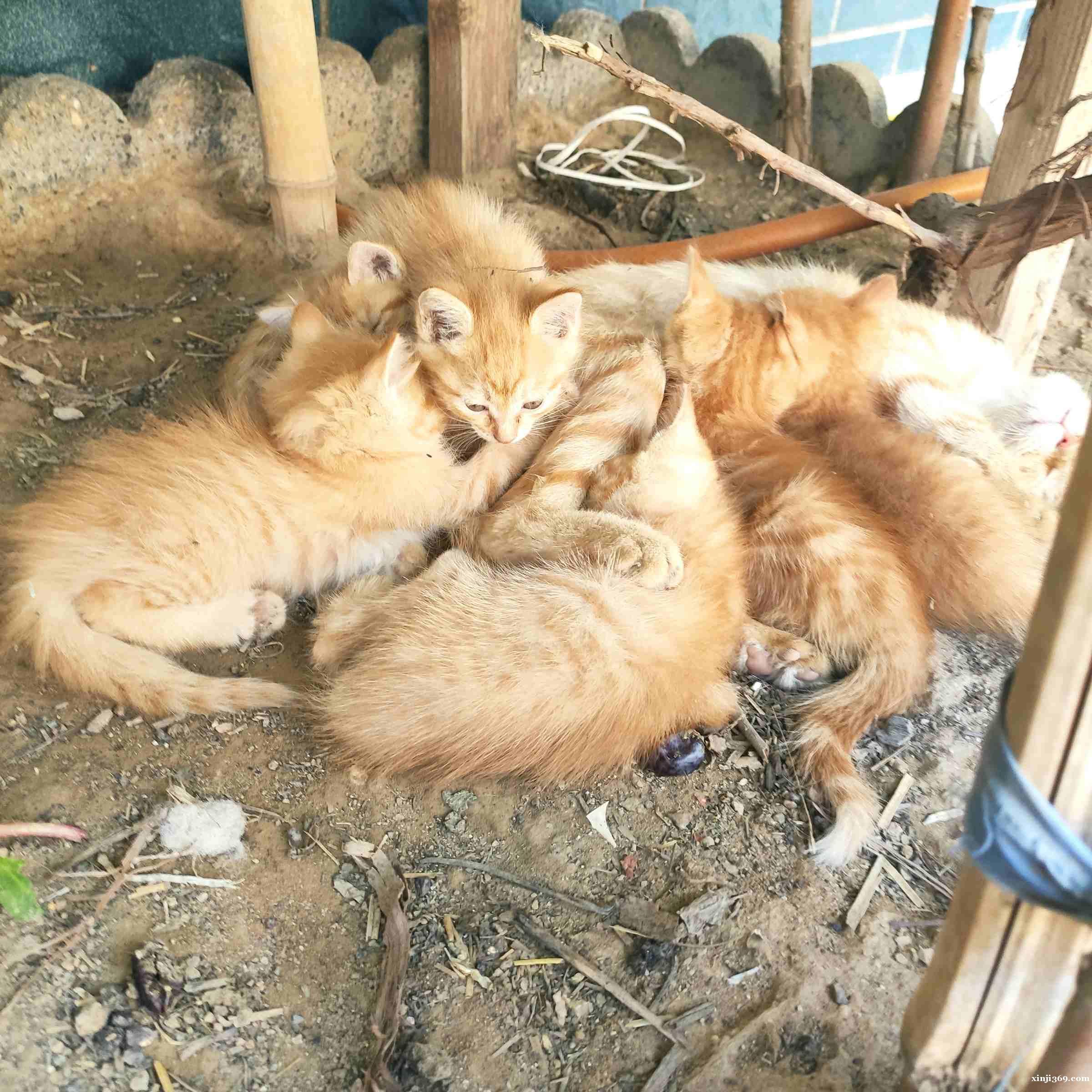 橘猫,免费领养